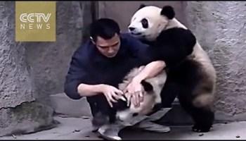 Dois pandas atacam o seu tratador