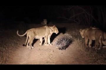 Porco-espinho enfrenta leões