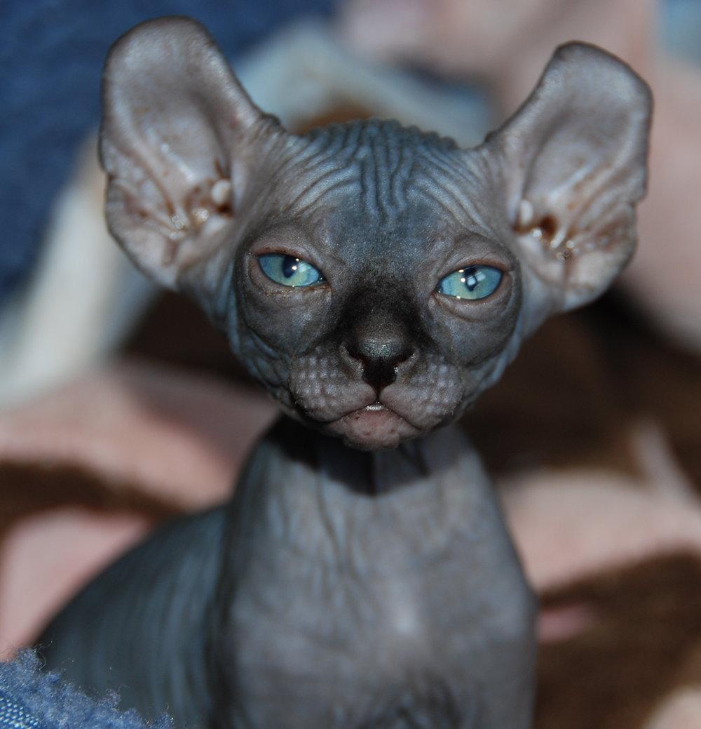 10 Raças de gatos mais caros do mundo