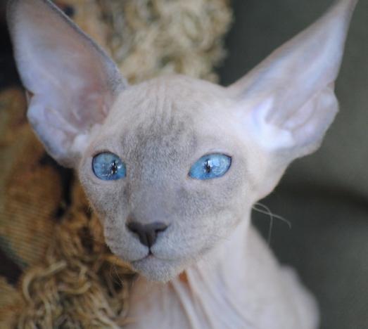 raças de gatos mais caros do mundo - Peterbald
