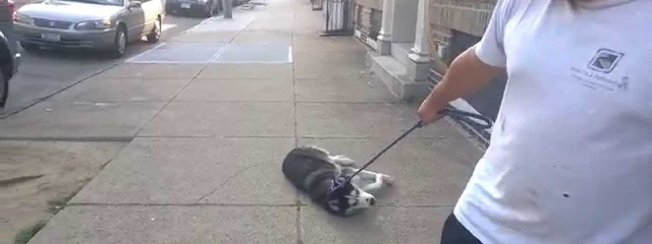 cachorro de raça Husky