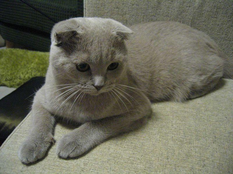 raças de gatos mais caros do mundo