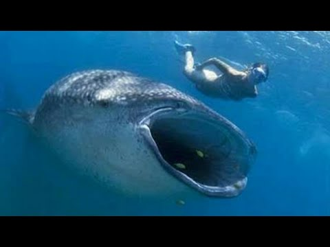 Mergulhador sobrevive após ser engolido por baleia