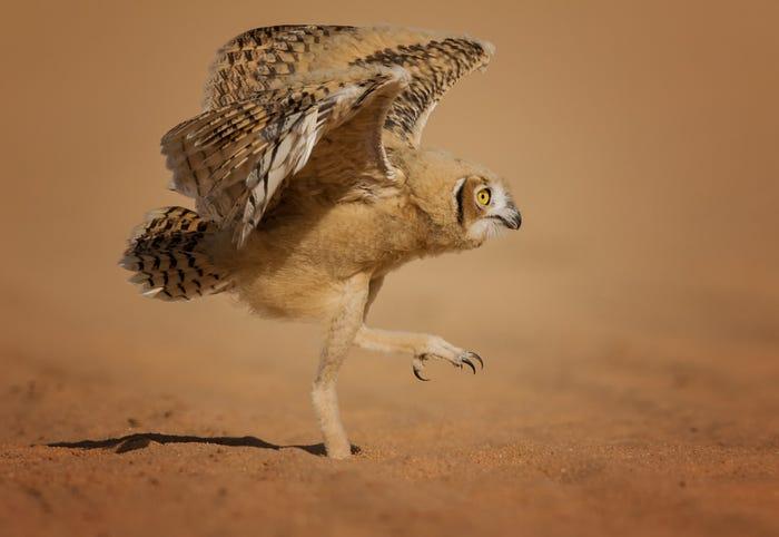 Vida selvagem em fotos hilariantes - aguia com dificuldade em levantar voo