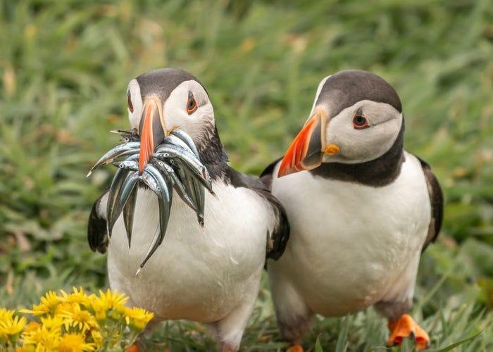 Vida selvagem em fotos hilariantes - fradinho ou papagaio-do-mar