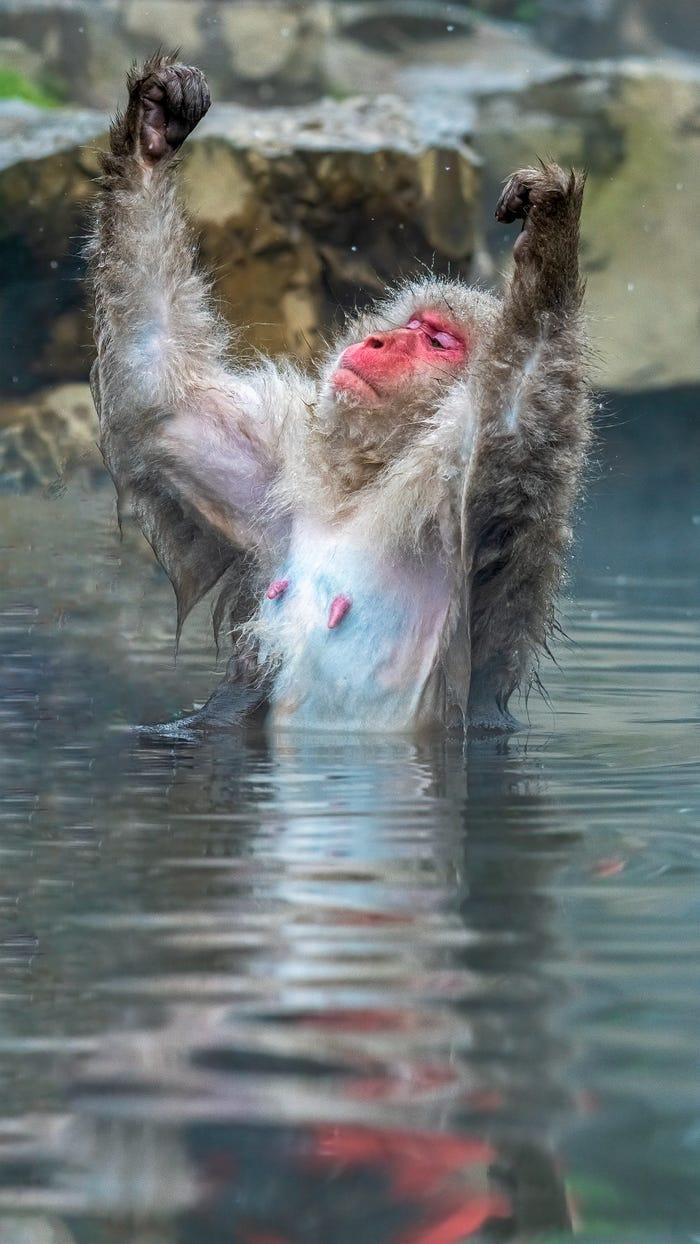 Vida selvagem em fotos hilariantes - macaco campeao