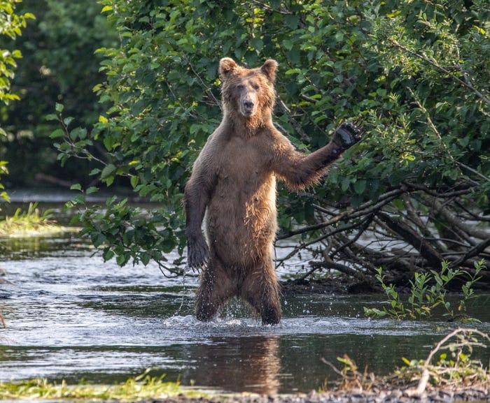 Vida selvagem em fotos hilariantes - urso a dizer olá