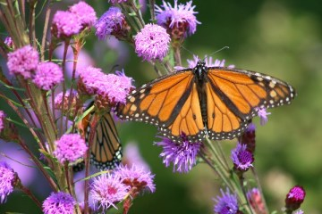 WL - Canada - Monarch with purple flowers