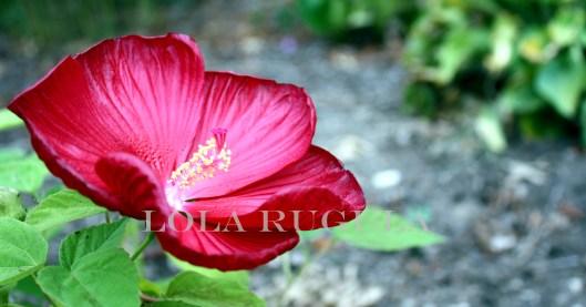 luna red hibiscus lola rugula