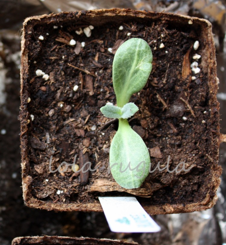 lola-rugula-how-to-start-artichoke-plants-indoors