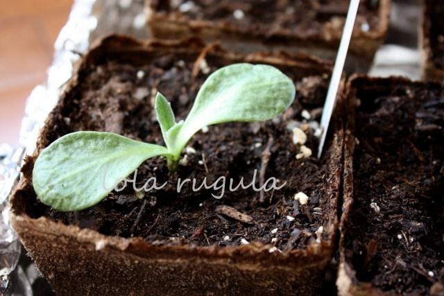 lola_rugula_how-to-grow-artichokes_2.28.15