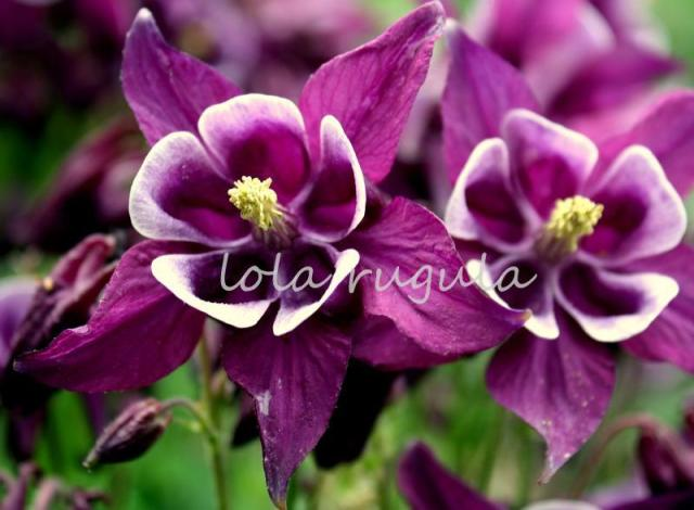 lola_rugula_purple-columbine