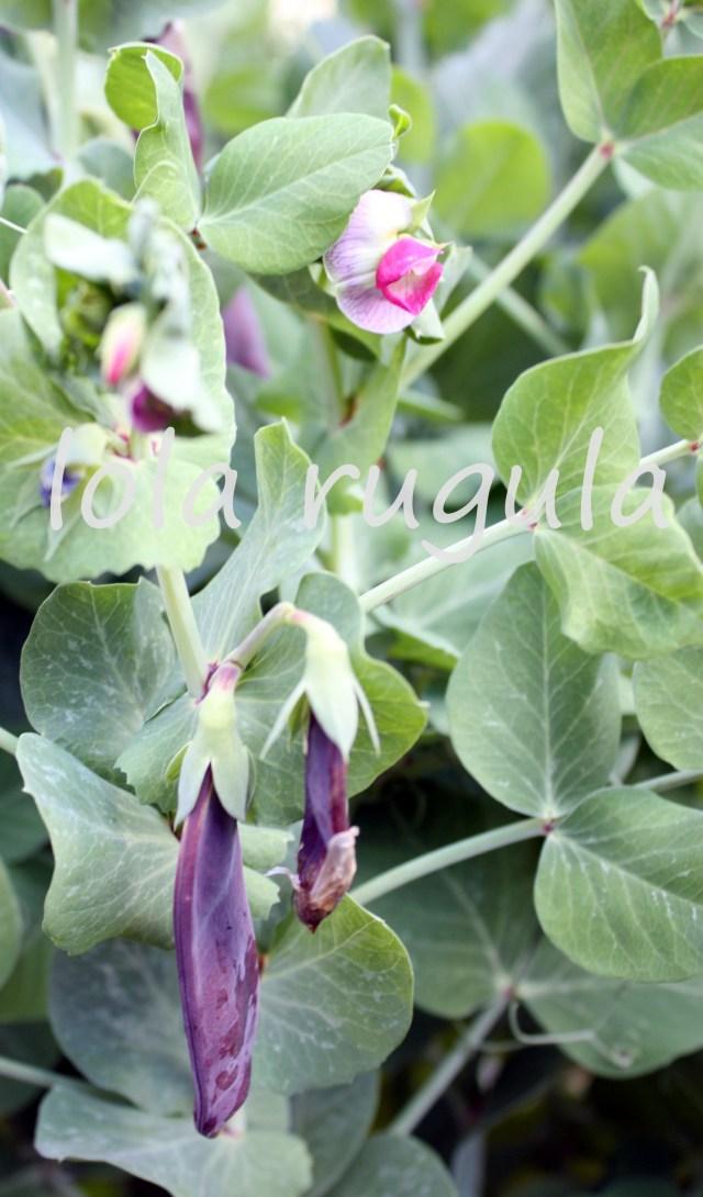 lola rugula purple snow peas 2 photo