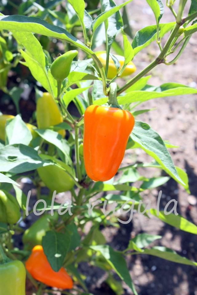 lola rugula sweet peppers photo