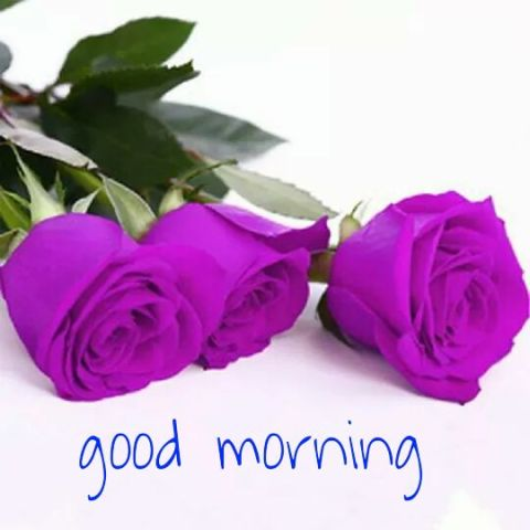good morning roses