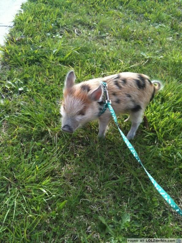 Cute Cow Pig