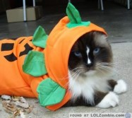 Awww. Look at the cute pumpkin cat.