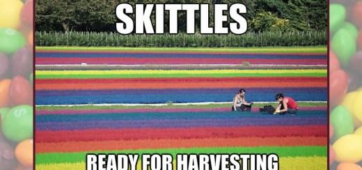 harvesting skittles
