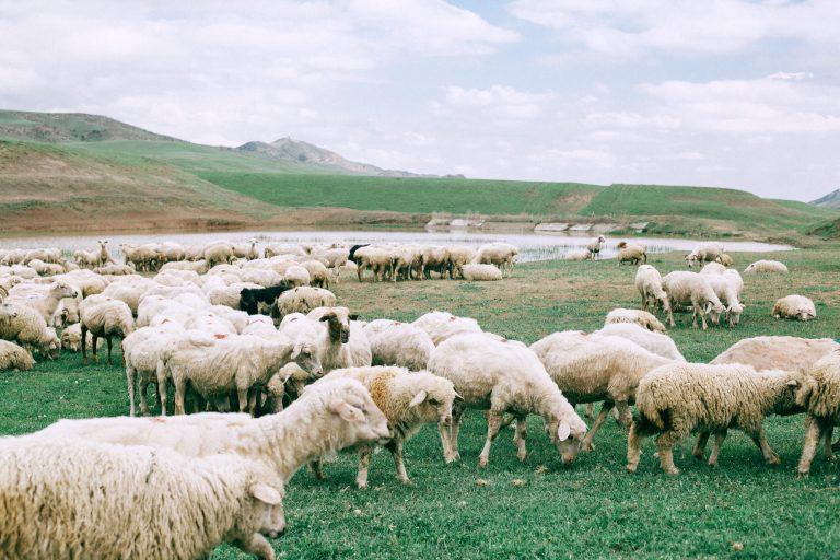 Colorado Lamb