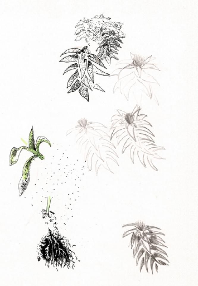 Dessins Botaniques