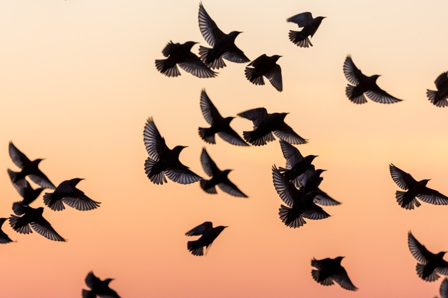 Flying starlings by Kevin Meredith