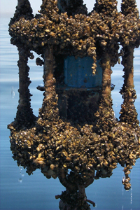 Zebra mussels smothering a current meter (Lake Michigan). Source: National Oceanic and Atmospheric Administration (NOAA).
