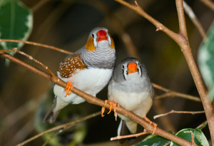 Female zebra finches are inexplicably attracted to coloured leg bands.