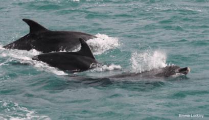 Bottlenose dolphins. Image by Emma Lockley.
