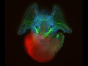 Microscope photo of a veliger of slipper limpet, with standard fluorescent imaging.