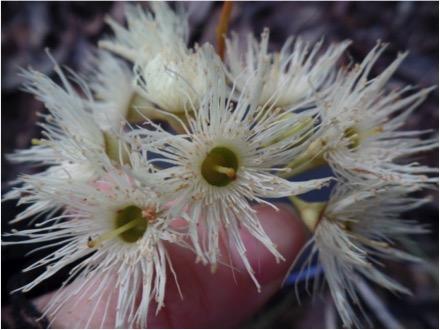 Eucalyptus flowers provide nectar for all honeyeater species. Image copyright Gemma Taylor.