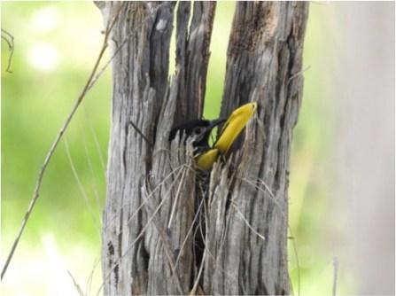 Female on 'stumpy' nest. Image copyright Gemma Taylor.