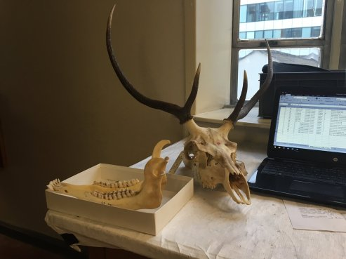 DTP student Dave Arnold collects data for his PhD. This red deer specimen from Balmoral was donated by HRH Prince Philip. Image by Dave Arnold.