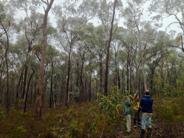 DTP student Gemma Taylor tracks endangered Regent honeyeaters reintroduced in Chiltern, Australia. Image by Hihi News.