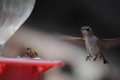 Entry to the 2015 DTP California Photo Contest. A female Costa's hummingbird approaching a feeder already occupied by a honeybee. Image copyright Dani Rabaiotti.