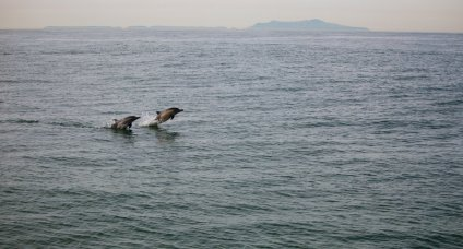 Common dolphins photographed on a whale-watching trip in Monterey Bay. Image copyright Adrienne Kerley.