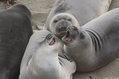 Learning about sexual dimorphism and selection with Elephant seals on Piedras Blancas. Image copyright Dan Nicholson.