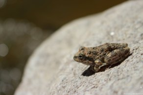 Califonian Chorus frog in Palm Canyon California. Image copyright Dan Nicholson.