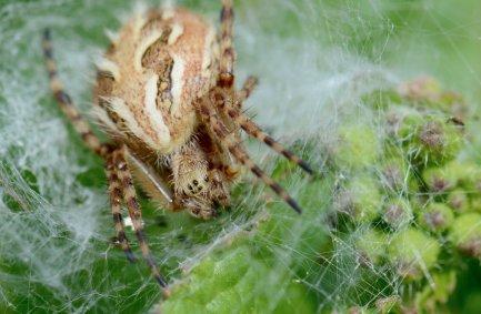 Spider photographed on Santa Cruz island. Image copyright Joe Williamson.