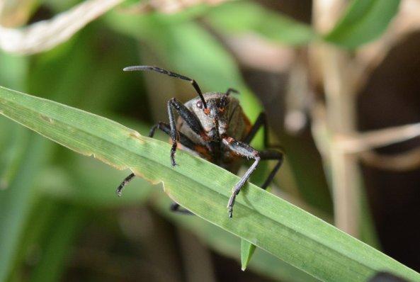 Beetle photographed on Santa Cruz island. Image copyright Joe Williamson.