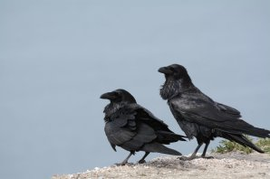 Ravens photographed on Santa Cruz Island. Image copyright Joe Williamson.