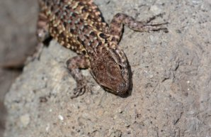 Lizard photographed on Santa Cruz island. Image copyright Joe Williamson.