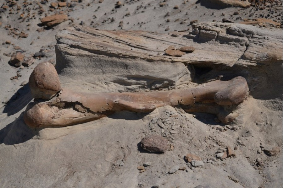 A large (1 metre long) hadrosaur femur lying exposed on the surface in DPP.