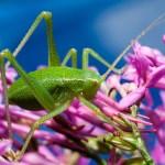 petite sauterelle verte