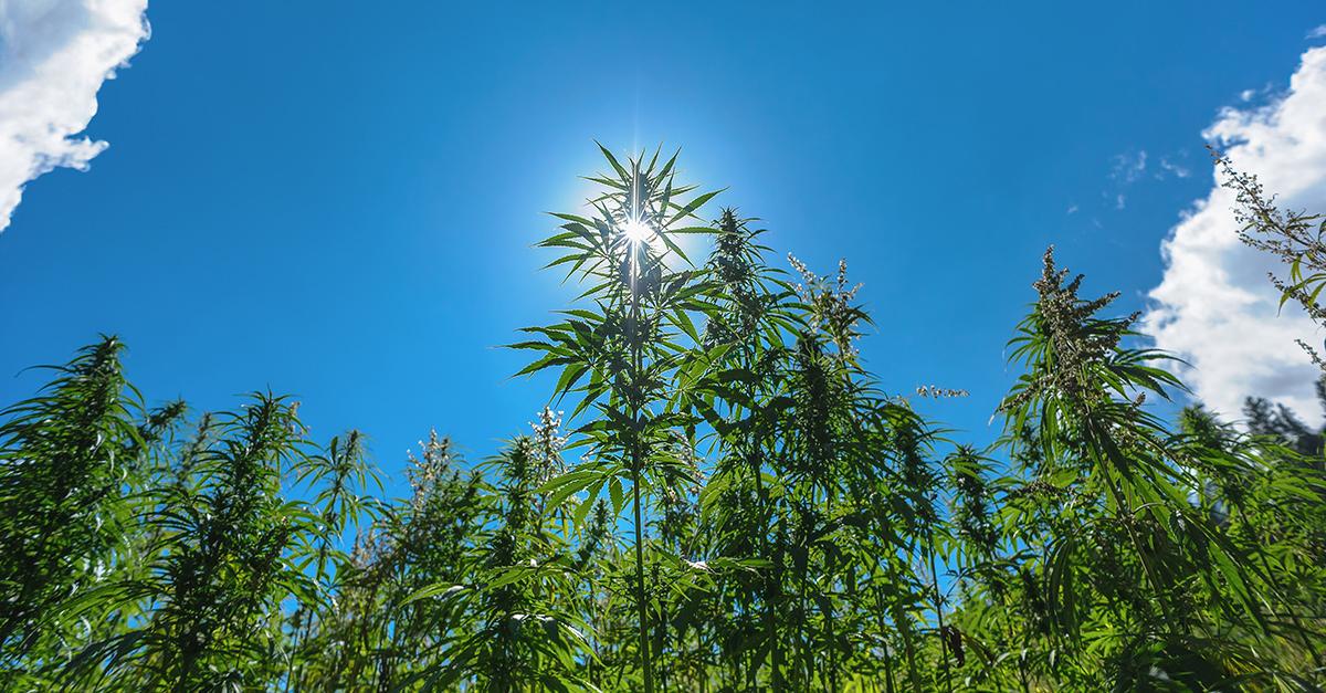 Napa Valley Weed