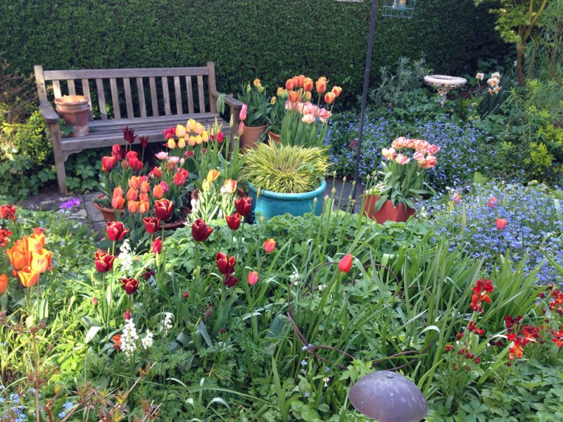tulips in pots and borders