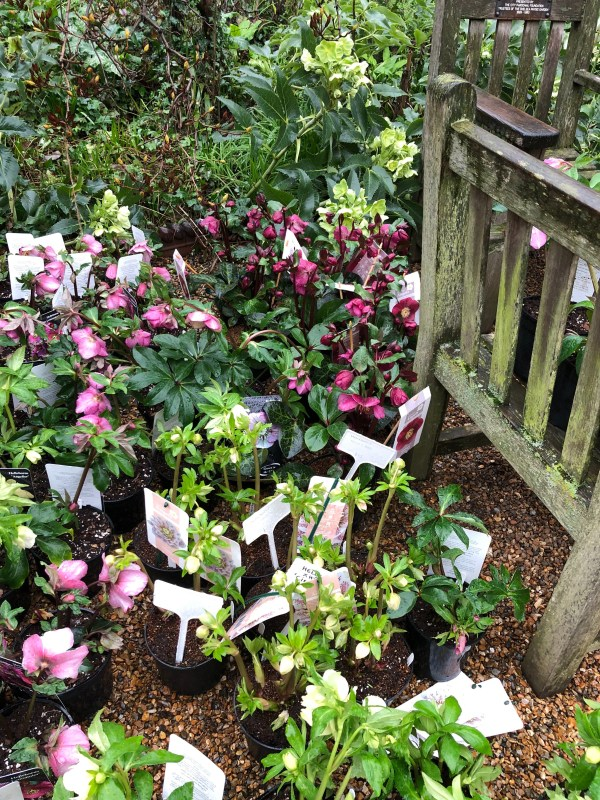 Six on Saturday hellebores at Chelsea Physic Garden