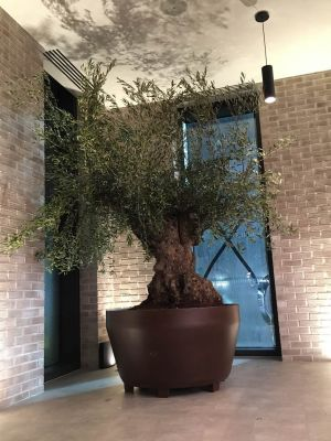 5 Edible Foods You Can Grow In A Small Space - Olive Tree