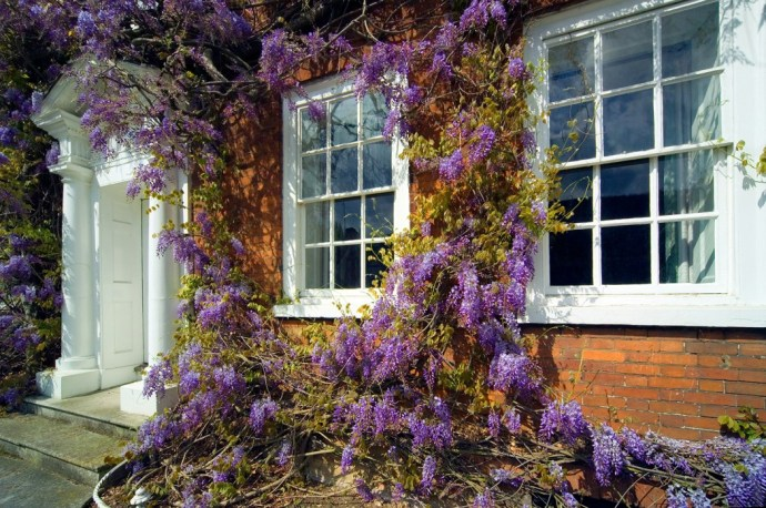 Traditional georgian house front with wooden sash windows and wisteria plant