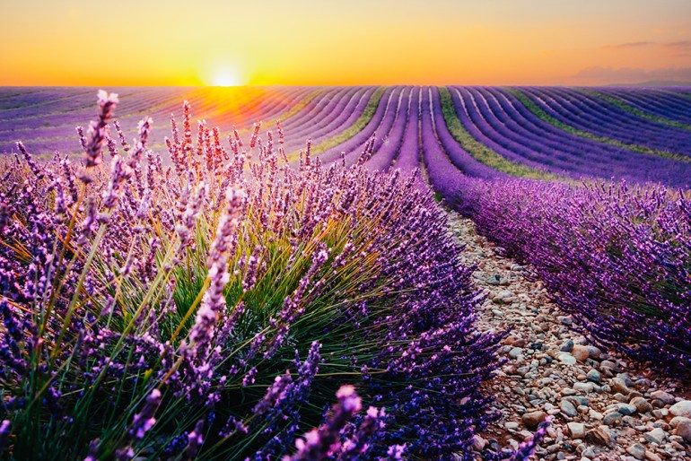Blooming lavender field at sunset in Provence, France