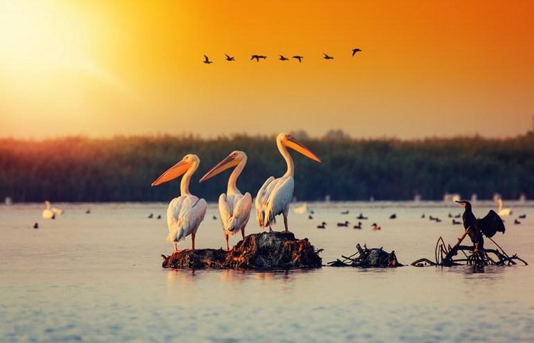 Pelican colony in Danube Delta Romania.